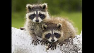 Coub лучшие приколы с животными | июнь 2018