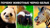 Почему многие животные черно-белые